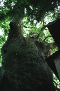 祝殿裏の大ケヤキ(松本市特別天然記念物)