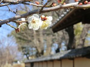 梅の花と土塀