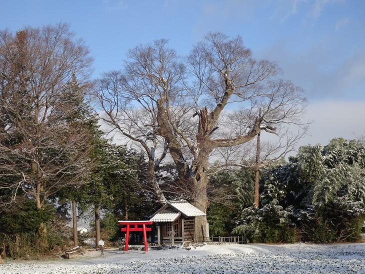 雪の祝殿とオオケヤキ