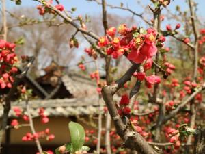 ボケ(木瓜)の花も見頃です(撮影:令和3年4月3日)