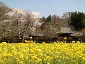 前田の菜の花畑からみた馬場家住宅(撮影:令和3年4月3日)