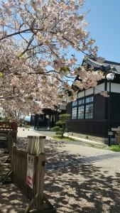 八重桜と旧裁判所庁舎