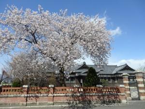 桜と旧松本区裁判所庁舎