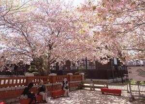 八重桜の下で桜茶をどうぞ