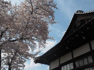 旧松本区裁判所庁舎横のソメイヨシノ
