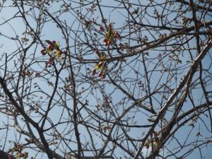 八重桜(4月19日正午現在)