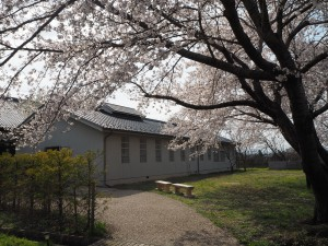 旧松本少年刑務所独居者房横のソメイヨシノ