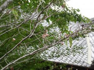 9月20日撮影 樹の後ろに見えるのは、旧松本区裁判所庁舎の屋根です