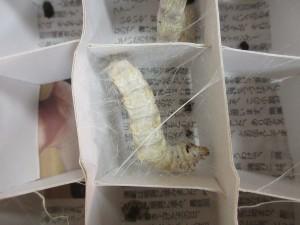 営繭(9月4日撮影) 糸を吐き始める蚕が出てきました。
