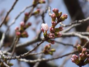 旧裁判所前(桜)