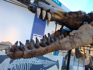 シガマッコウクジラ