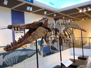 シガマッコウクジラ全身骨格