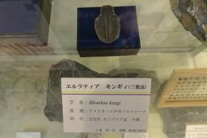 2階に展示中の三葉虫の写真