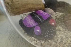 今年度の夏休み講座で作成した三葉虫の写真