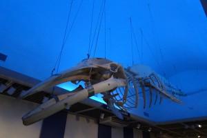 海を泳ぐミンククジラを表現