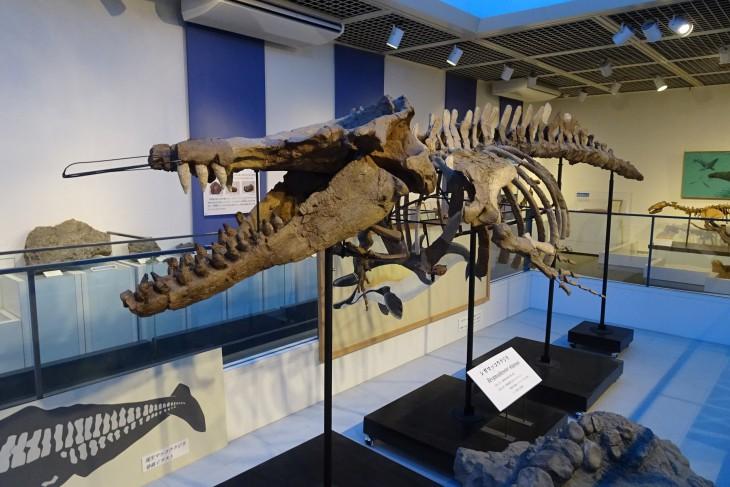 シガマッコウクジラ頭部写真