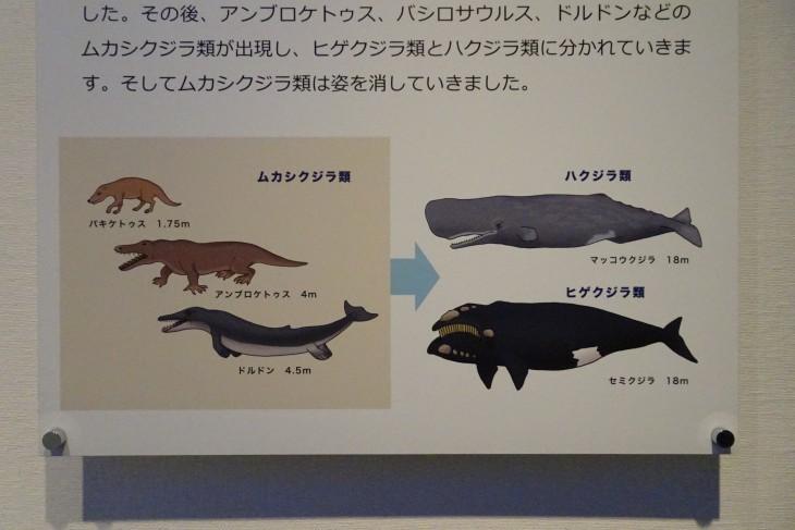 クジラの進化