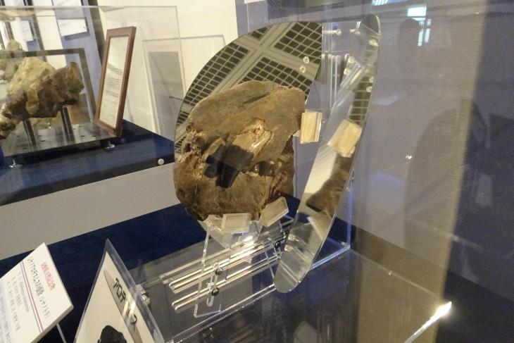 シナノアロデスムス頭骨