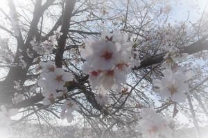 桜 錦部地区