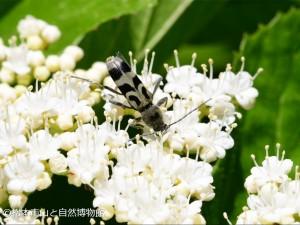 エグリトラカミキリ Chlorophorus japonicus