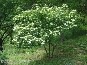ガマズミ Viburnum dilatatum