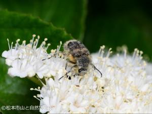 ヒメトラハナムグリ Lasiotrichius succinctus