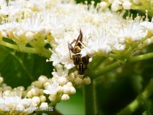 ヒメアシナガコガネ Ectinohoplia obducta