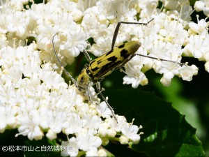 キイロトラカミキリ Grammographus notabilis