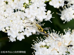 キンケトラカミキリ Clytus auripilis