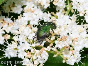 コアオハナムグリ Gametis jucunda