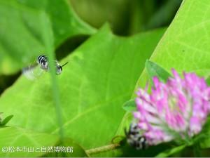 アオスジコハナバチ