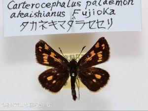 タカネキマダラセセリ 赤石山脈亜種