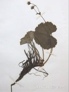 河野齢蔵が採集したミヤマダイコンソウ