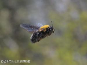 キムネクマバチ♂